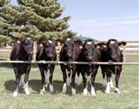 Cloned Cows